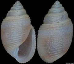 Acteon cf. valentina (Philippines, 6,0mm)