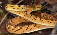 Asian vine snake (Ahaetulla prasina), Gnommalath, Khammouane Province, Laos