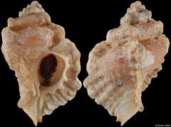 Dermomurex cunninghamae (Pacific Panama, 21,6mm)