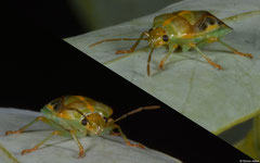Shield bug (Pentatomidae sp.), Broome, Western Australia