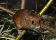 Eurasian harvest mouse (Micromys minutus), photographed in the studio