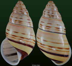 Amphidromus xiengensis (Laos, 25,8mm) F++ €9.00 (specimens for sale are 20mm+ and are of the same quality as the specimen illustrated)