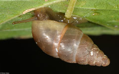 Prosopeas ventrosulum (E of Phonsavan, Xiangkhuang Province, Laos)