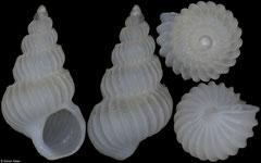 Epitonium emydonesus (Pacific Mexico, 3,4mm)