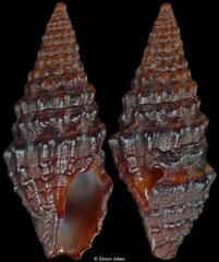 Pilsbryspira arsinoe (Pacific Mexico, 12,4mm)