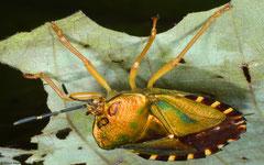 Shield bug (Pentatomidae sp.), Talikud Island, Philippines