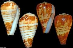 Conus chytreus (Angola, 26mm, 22mm)