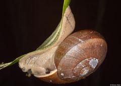 Hemiplecta distincta (Bokor Mountain, Cambodia)