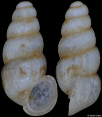 Lanzaia matejkoi (Montenegro, 1,8mm) (paratype)