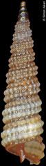 Clathropsis semiclara (Philippines, 5,0mm)