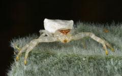 White crab spider (Thomisus spectabilis), Broome, Western Australia