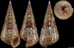 Niso splendidula (Pacific Mexico, 34,9mm)