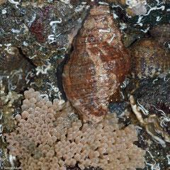 Pusio elegans guarding eggs (Punta Paitilla, Pacific Panama)