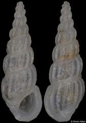 Rissoina aff. fratercula (Philippines, 5,0mm) F+/F++ €3.50