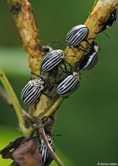 Leaf beetles (Leptinotarsa undecimlineata), Pinar del Río, Cuba