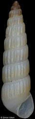 Turbonilla subcylindrica cf (13,4mm)