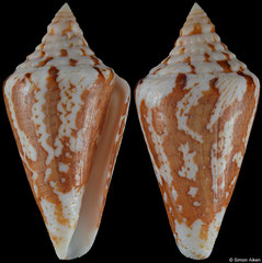 Conus archon (Pacific Panama, 51,5mm)