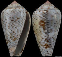 Conus nigropunctatus (Israel, 35,0mm)
