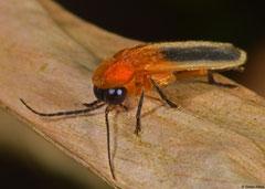 Firefly (Lampyridae sp.), La Grande Soufrière, Basse-Terre, Guadeloupe