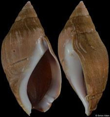 Pseudoliva ancilla (South Africa, 59,8mm) F+ €32.00