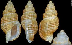 Pseudodaphnella cf. nexa (Philippines, 6,7mm)