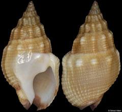 Nassarius speciosus (South Africa, 15,0mm) F++ €4.50