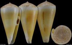 Conus alconnelli (South Africa, 40,6mm) F++ €80.00