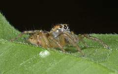 Jumping spider (Salticidae sp.), Balut Island, Philippines