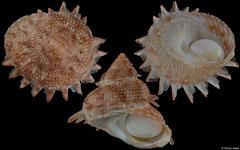 Bolma millegranosa (Philippines, 42,3mm)