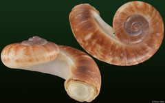 Rhiostoma cf. tomlini (Laos, 28,3mm)