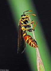 Wasp (Polistes cubensis), Pinar del Río, Cuba