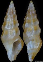 Cerodrillia jerrywallsi (Philippines, 10,2mm)