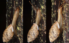 Anceyoconcha pharangensis (Bokor Mountain, Cambodia)