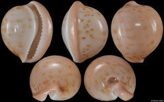 Cypraea volvens (South Africa, 19,1mm)