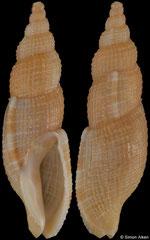 Tritonoharpa siphonata (Pacific Mexico, 19,9mm)