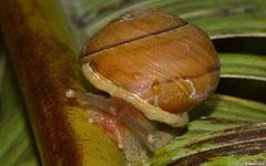 Eurycratera dominicensis gabbi (La Cumbre, Dominican Republic)