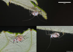 Aphid (Aphididae sp), York, UK