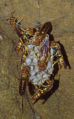 Wasps (Vespoidea sp.), La Cumbre, Dominican Republic