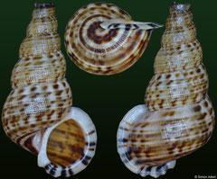 Parachondria gnotus (Dominican Republic, 12,3mm)