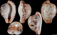 Cypraea edentula astonensis (South Africa, 20,4mm)