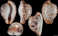 Cypraea edentula astonensis (South Africa, 20,4mm)