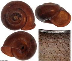 Chloritis eustoma (Solomon Islands, 18,7mm)