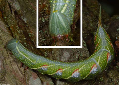 Hawk moth (Sphingidae sp.) larva, Fianarantsoa, Madagascar