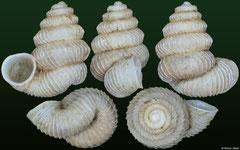 Plectostoma tonkinianum (Cambodia, 3,9mm)