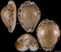Cypraea lamarckii form 'redimita' (Thailand, 28,4mm, 28,9mm) F+++ €8.00
