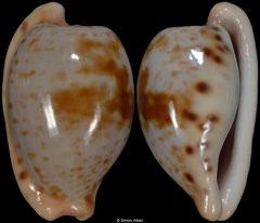 Cypraea alfredensis (RSA, 21,2mm)
