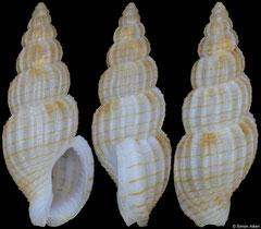 Antillophos nigroliratus (Philippines, 16,7mm) F+++ €13.00