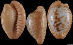 Cypraea coronata form 'gloriosa' (South Africa, 26,9mm)
