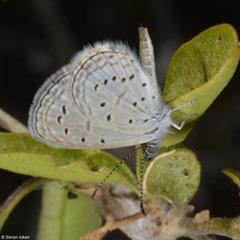 Dark grass blue (Zizeeria knysna), Salary, Madagascar