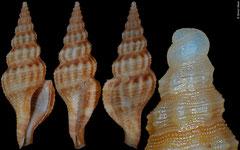 Glyphostoma carmen (China, 21,1mm)